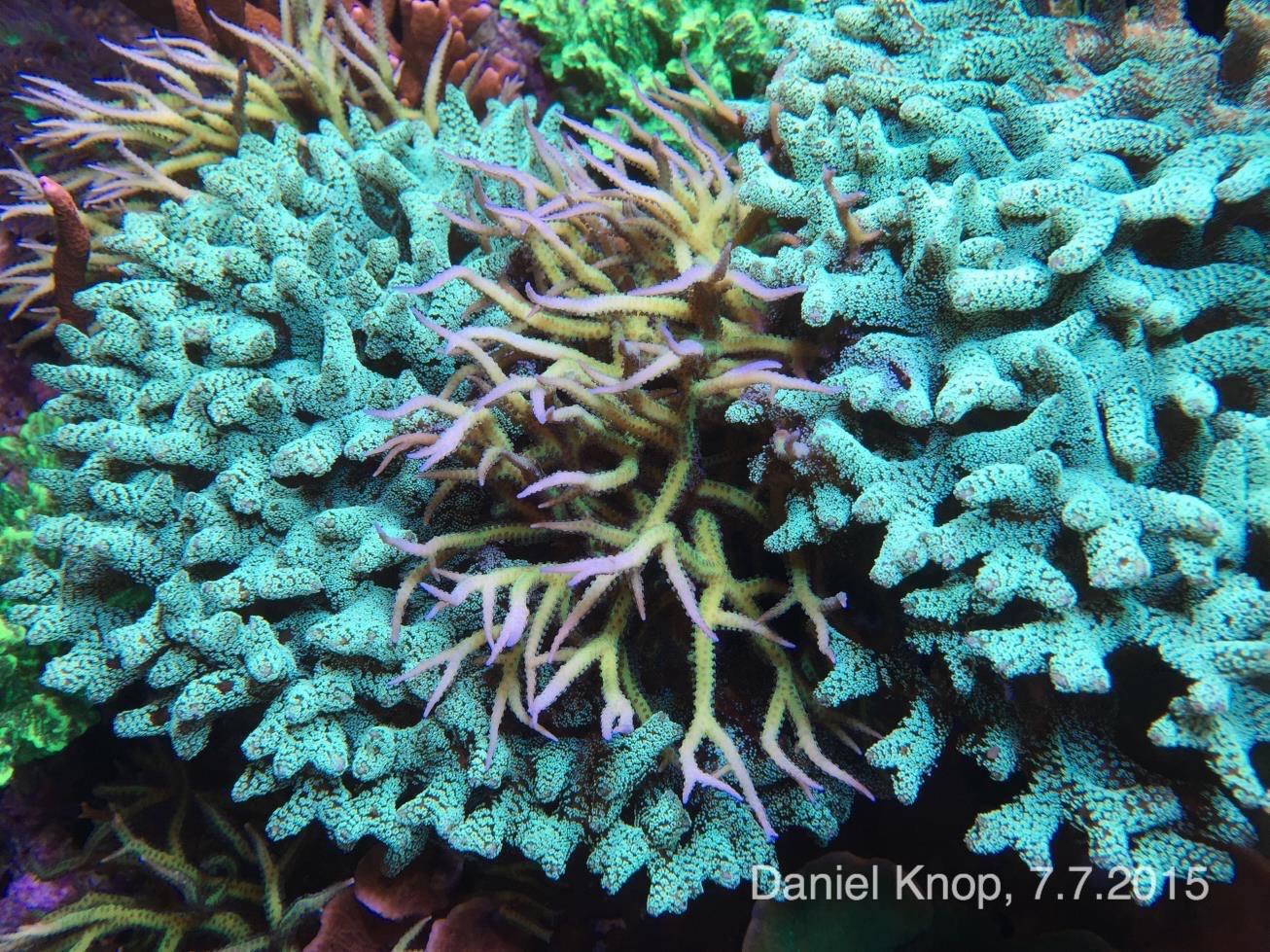 Using contrasting corals in close proximity creates visual interest and appeal - here a Ponape Birdsnest resides between two Green Birdsnest colonies.