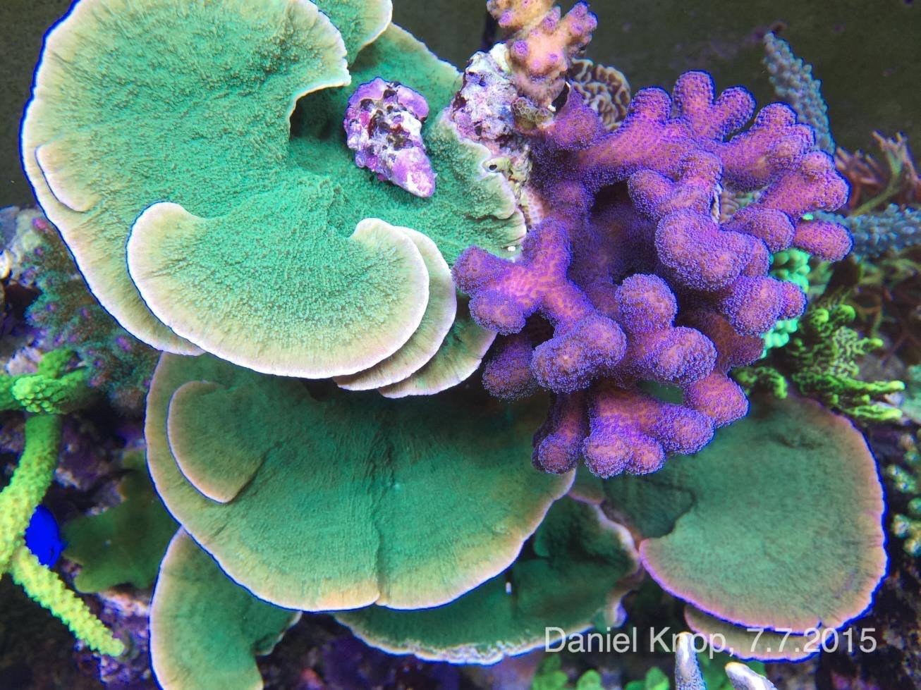 A purple Stylophora is extremely well framed by the contrasting coloration and shape of green Montipora capricornis.