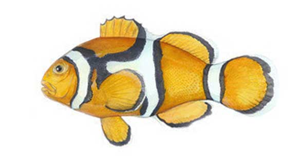 The Orange or Percula Clownfish (A. percula) [Illustration courtesy of Karen Talbot | www.KarenTalbotArt.com