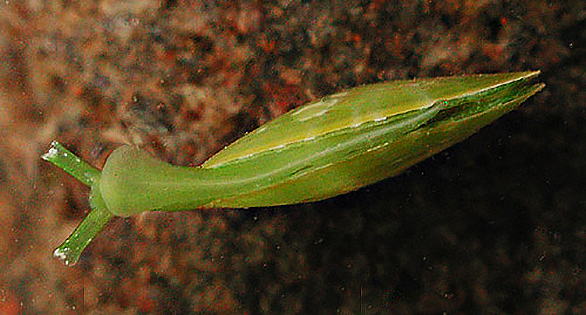 Berthelinia pseudochloris. Found on Maui. Image courtesy Sea Slugs of Hawaii © Cory Pittman.