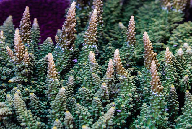 Rampant growth of Frogskin Staghorn Acropora, supplied as frags by ORA six years ago, attests to the health of the Smithsonian system.