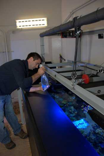 Dr. Matt Wittenrich stocks mandarinfishes into the exhibit prior to opening, using his own captive-bred stock raised in Florida.
