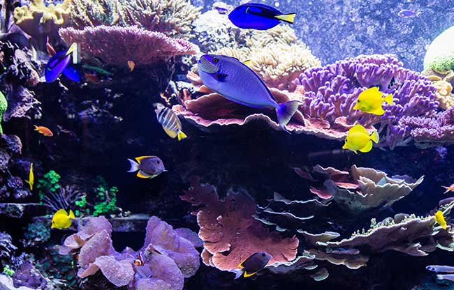 Representing an Indo-Pacific shallow coral reef, the exhibit in 2015 contains many of the same corals and fishes originally stocked in 2009. Note large Giga Clam, lower left.