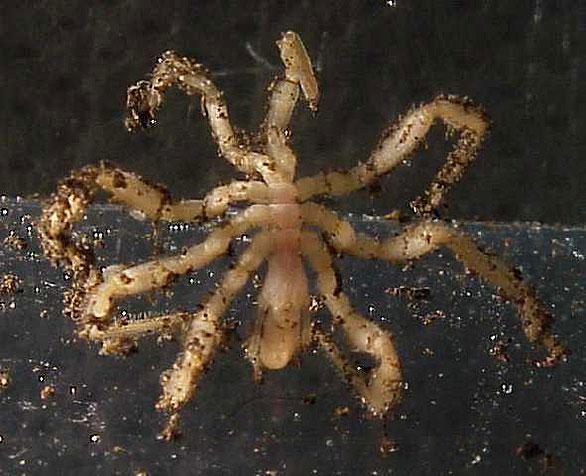 Vent Sea Spider, Sericosura verenae. Image: Verena Tunnifliffe/NOAA.