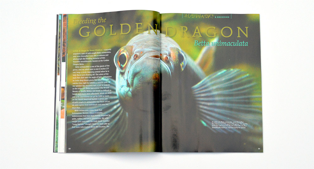 Steve Waldron provides an in-depth look at Breeding the Golden Dragon, Betta unimaculata.