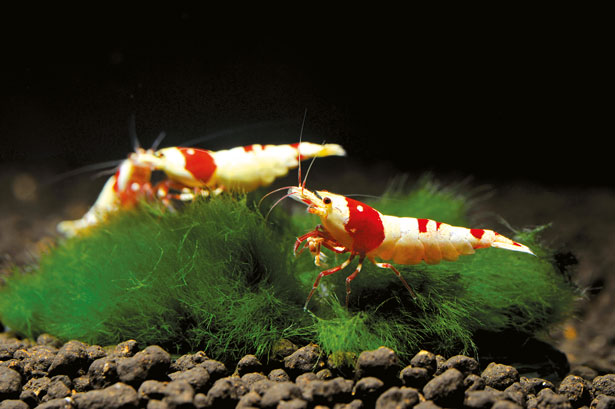 True showstoppers: Red Bee shrimp by Mario Portera, runner-up in Group 6. Photo: F. Bitter