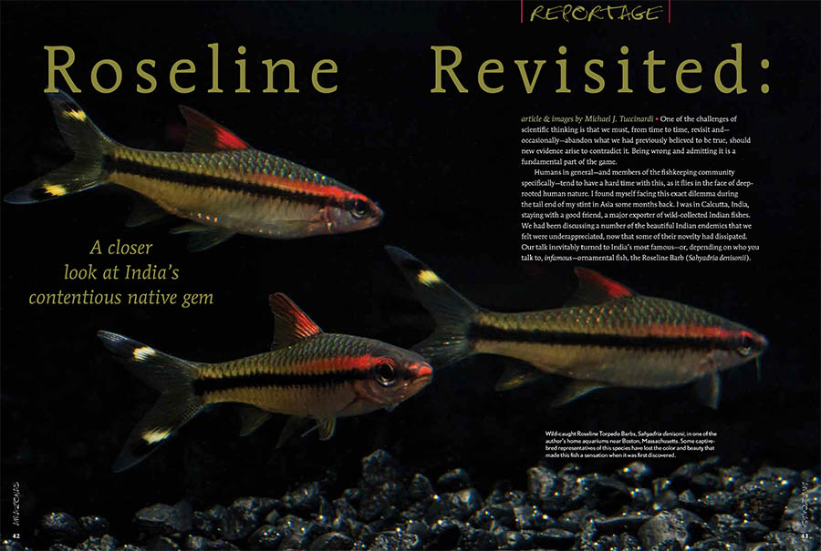 The glorious Roseline Barb, Sahyadria denisonii, also known as the Torpedo Barb or sometimes as Miss Kerala is an Indian endemic whose popularity as an aquarium fish has brought fears that it is being harvested into extinction. AMAZONAS Senior Contributor Michael Tuccinardi heads to the Malabar Coast of India to assess a controversial story.