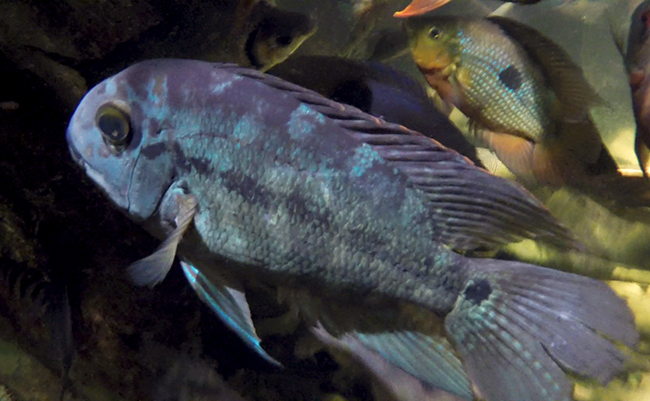 Adult Parrot Cichlid on display at New England Aquarium