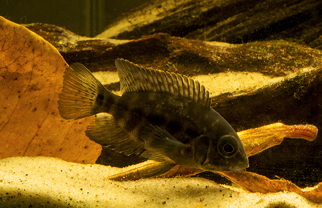 "Juvenile H. psittacum in a home aquarium. The ""true"" parrot cichlid remains quite rare in collections"
