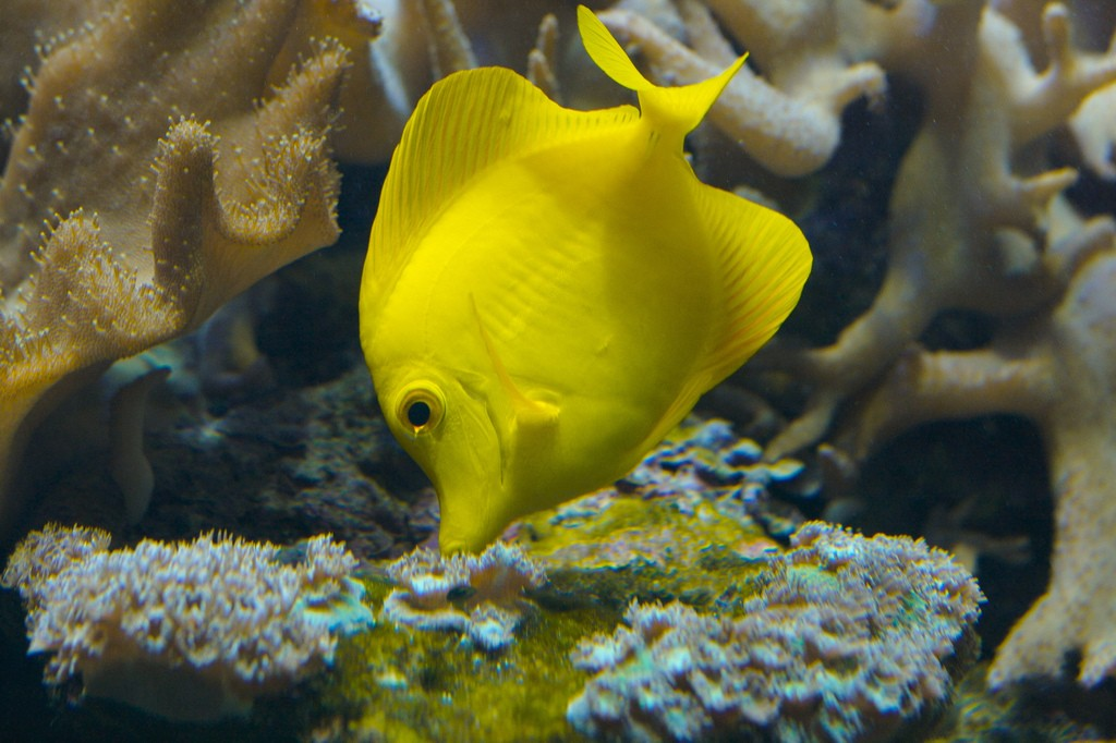 While we'd all love to have affordable, captive-bred Yellow Tangs available right this second, that isn't going to happen! Image by Ryan Poplin of Flickr, CC BY SA 2.0