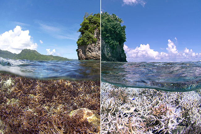 American Samoa: Coral reef in 2014 (before bleaching) and in 2015 (after). Image: XL Caitlin Seaview Survey.