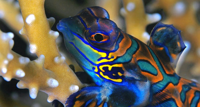 The Green Mandarinfish, Synchiropus splendidus, is a popular aquarium fish reportedly overcollected in some areas. New data is expected to help inform future discussions about the sustainability of the harvest of this species. teguh tirtaputra/shutterstock