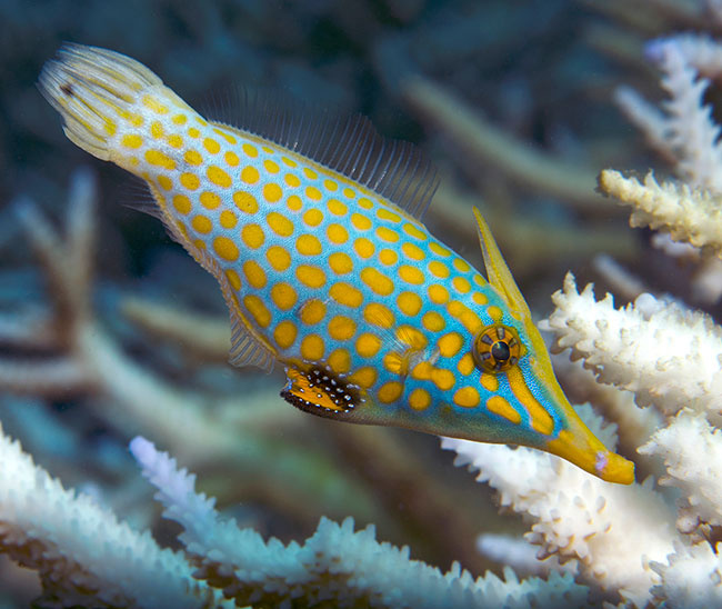 Harlequin Filefish, an obligate corallivore that will likely starve, searches for live coral polyps on a bleached reef in American Samoa, 2015. Image: XL Caitlin Seaview Survey/NOAA.