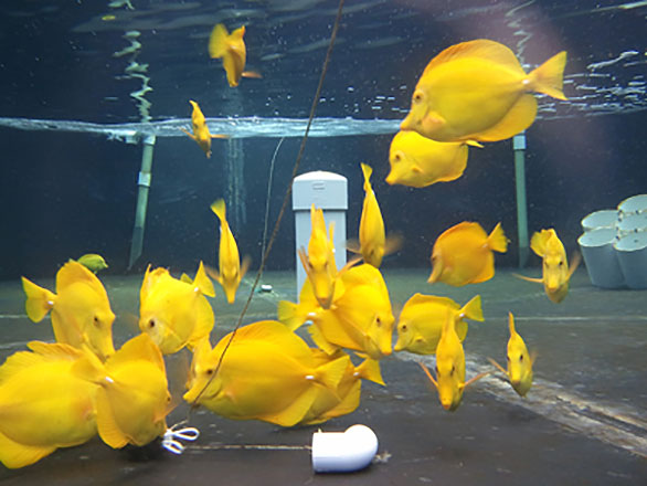 Wild-caught Yellow Tang at the OI labs. Activists are currently calling for a ban on all exports to the aquarium trade, which currently relies on Hawaii as its primary source of this species.