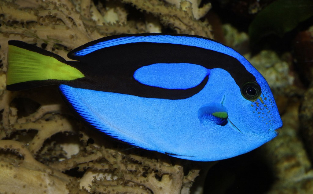 Paracanthurus hepatus, image by H. Krisp CC BY 3.0 via Wikimedia Commons