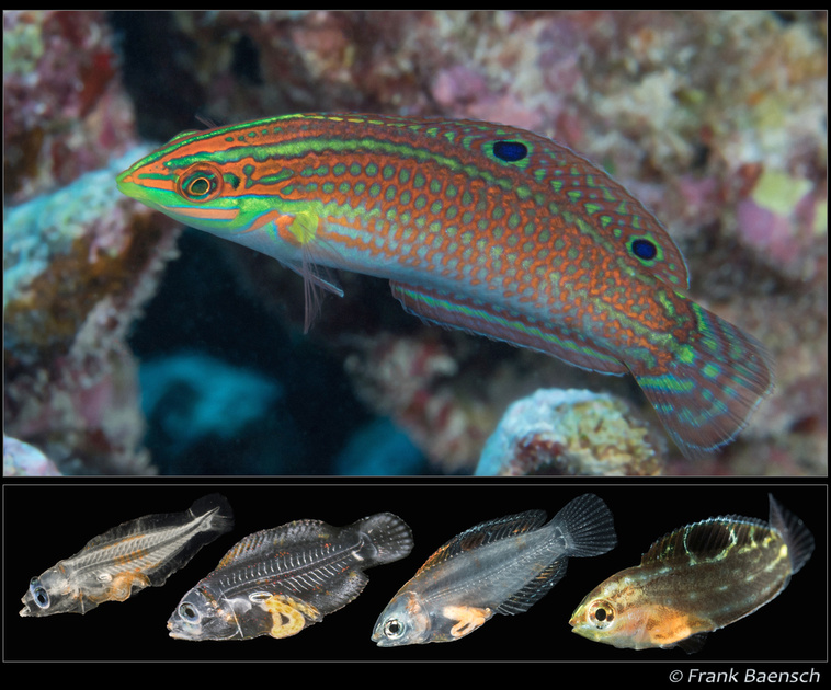 Adult (above) and larval growth series of the Hawaiian Christmas or Ornate Wrasse, Halichoeres ornatissimus. Images copyright Frank Baensch.
