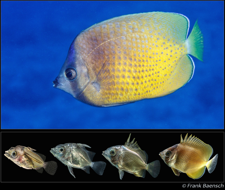 Adult Chaetodon kleinii (above), and larval development photo series below. Images copyright Frank Baensch