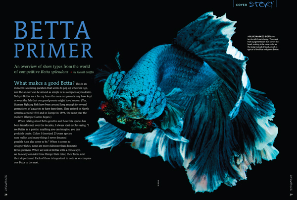 What makes a good Betta? President of the International Betta Congress and well-known show judge describes all of the main forms of Betta splendens with stunning images by Morrell Devlin, Matt Pedersen and others.
