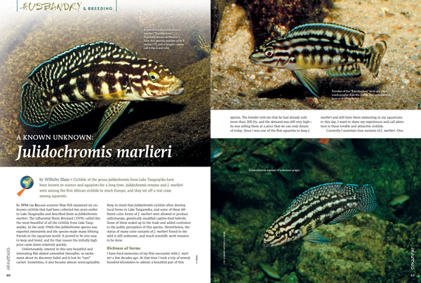 The Checkered Julie, also known as Marlier's Julie, Julidochromis marlieri is a Lake Tanganyika native for fans of smaller, but not quite dwarf, cichlids.