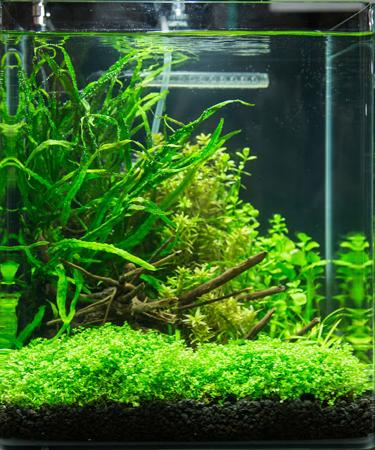 Mike Bernard's first-place winning small tank entry in the Aquascaping Live! Contest at Aquatic Experience - Chicago 2015. Image by Dan Woudenberg/LuCorp Marketing for the World Pet Association.