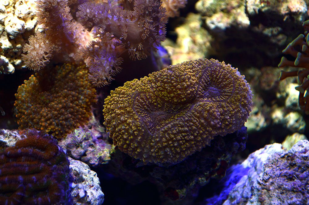 This small metallic orange Lobophyllia caught my attention.