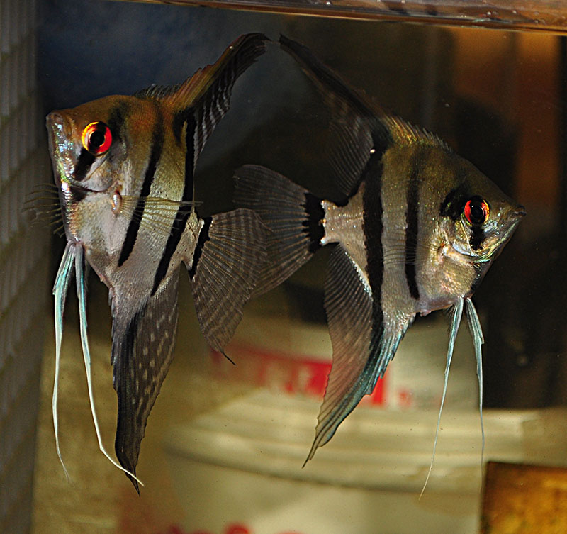 "These young silver angelfish egregiously sold as ""Captive Bred"" or ""Tank-Raised"" Altums were definitively not Pt. altum, despite carrying a price tag which might have suggested otherwise. They did make really nice wild-type babies...but certainly no altums."