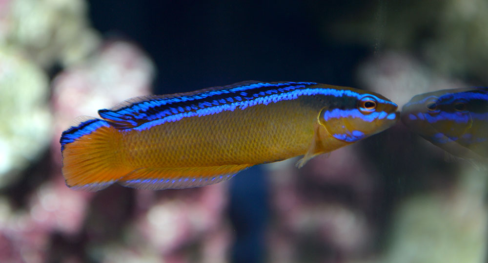 A Florida-cultured Arabian or Neon Dottyback, on display at the 2015 Aquatic Experience - Chicago.  Image by CORAL / AMAZONAS Sr. Editor Matt Pedersen