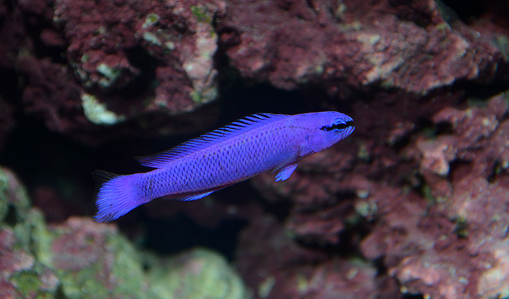 Pseudochromis fridmani, one of the dozens of marine fish species now produced by FTFFA member farms.