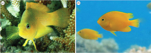 Dusky Dottyback, left, a voracious predator on young damselfishes, such the Lemon Damsels, right.  Images: Dr. Oona Lenstedtt.