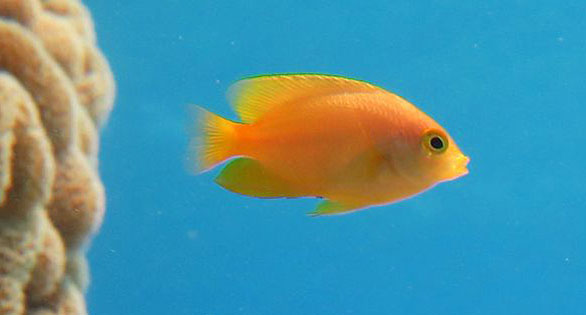Lemon Damselfish, studied and found to emit alarm cues when attacked. Image: Oona Lonnstedt