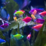 GloFish at Aquatic Experience - Chicago 2015. Image by Dan Woudenberg/LuCorp Marketing for the World Pet Association.