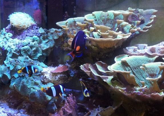 A broodstock pair of wild  Amphiprion latifasciatus in a reef tank at Sustainable Aquatics.