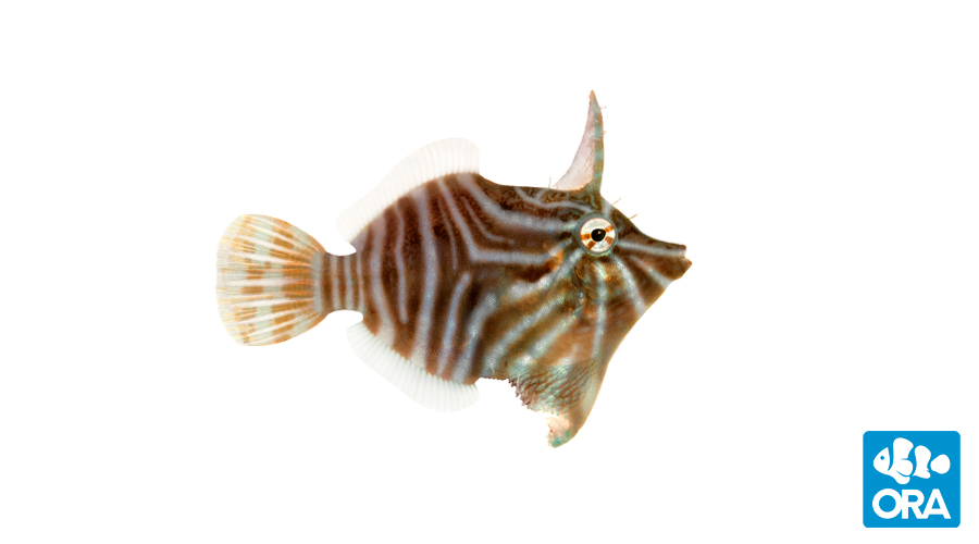 ORA's latest captive-bred introduction, and a species first, the Radial Filefish, Acreichthys radiatus.