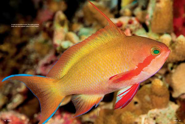 The Green Anthias is a beauty—and not always green—and a hardy member of its genus for aquariums with space and rugged tankmates. See Daniel Knop's well-illustrated Species Spotlight for a look at a reef fish worth knowing.