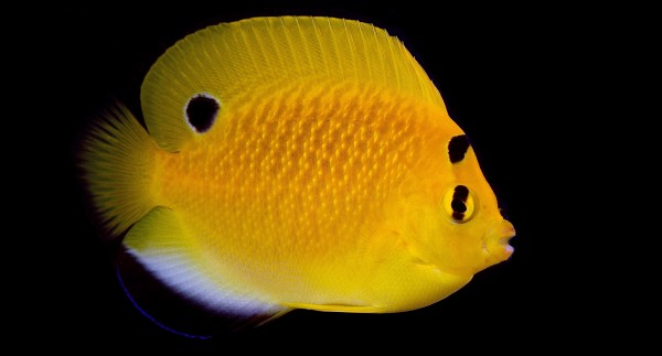 An accidental young hybrid of Flagfin and Goldflake Angels (Apolemichthys trimaculatus x A. xanthopunctatus) from Bali Aquarich. Image: Lemon Tea Yi Kai