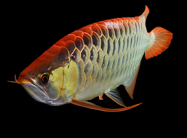 Asian Red Arowana, Scleropages formosus, a fish with ancient origins but endangered by habitat destruction in its native waters.