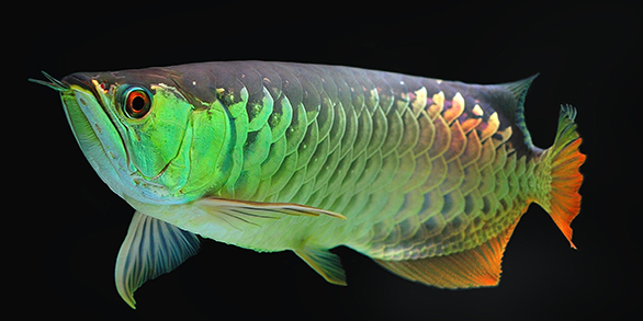 Asian Arowana with a green cast, one of many hues seen in this species, including gold, blue, yellow, and many shades of red, and silver (not to be confused with the South American Silver Arowana, Osteoglossum bicirrhosum.)
