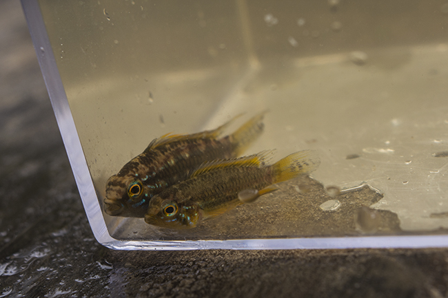 Beautifully marked Apistogramma collected in a shallow creek