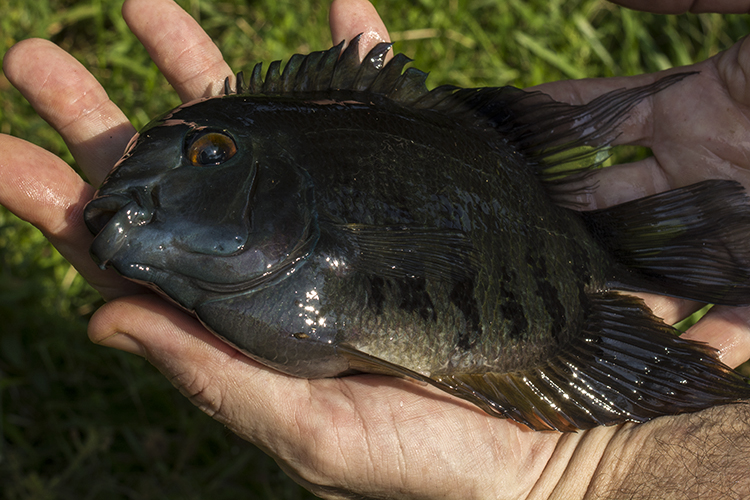 Adult green severum (Heros sp.) collected in Pichuna