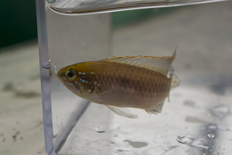 Nicely-colored Apistogramma, which are occasionally collected for the trade in this area