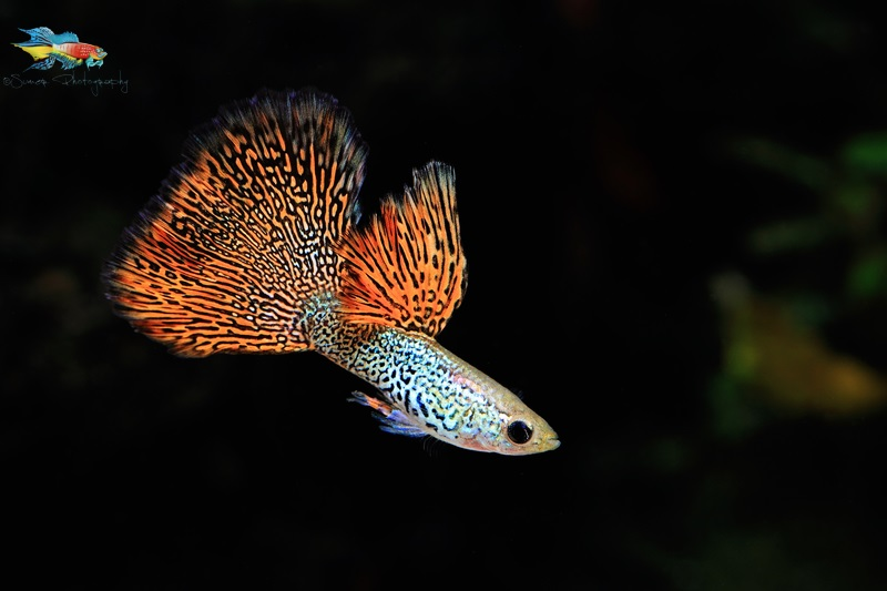 Guppies are easy to keep but they have so much more to offer that we sometimes don't notice.