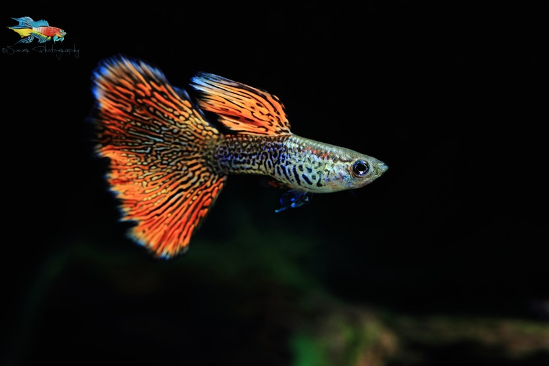 "Guppies can be a great fish to start the hobby with. Next time when a ""wannabe"" hobbyist would visit your fish room, you'd have something to give him/her to kickstart the hobby"