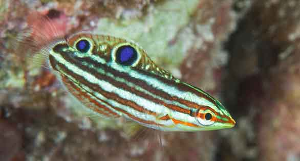 Hawaiian Christmas Wrasse, popular aquarium fish bred for the first time by Frank Baensch.