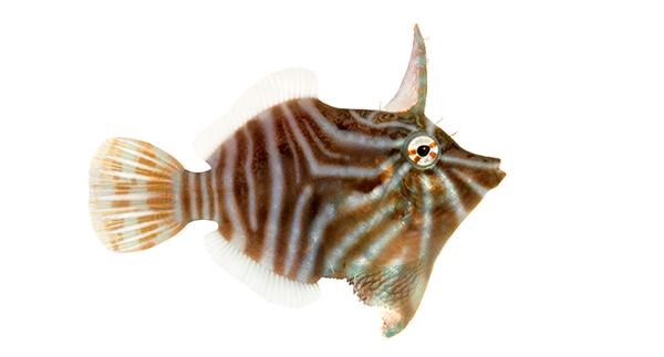 ORA-radialfilefish-600px