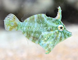 Able to change colors in a flash, the Radial Filefish can appear brown, green, blue or cream and with variable markings. Image: Copyright © LiveAquaria.com/Kevin Kohen.