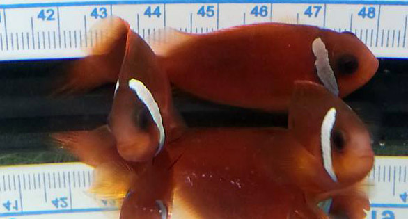 """A new interspecific primary hybrid of the Barberi Clownfish from Fiji, and the Indian Ocean Fire Clown, has been produced by Canadian breeders 2 Clowns. It is named the """"Split Face"""" Clownfish for the broken headstripe present in all the offspring. Image by Paul Tremblay   2 Clowns"""