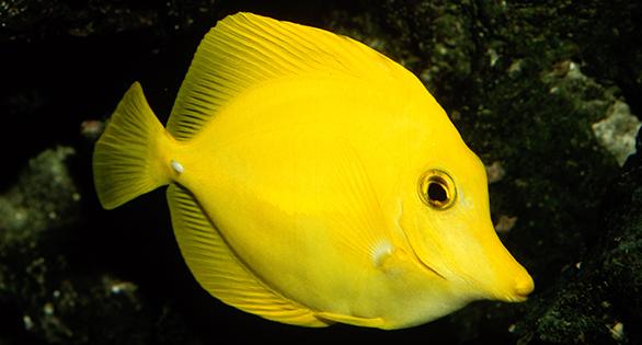 Zebrasoma flavescens, Yellow Tang, in a marine aquarium. Image: Scott W. Michael