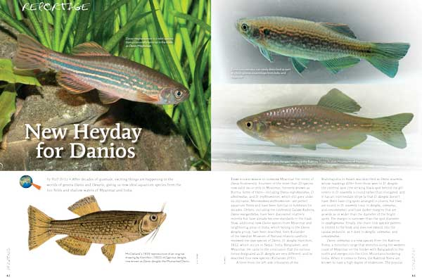 "After decades of quietude, exciting things are happening in the worlds of the genera Danio and Devario, giving us new ideal aquarium species from the rice fields and shallow waters of Myanmar and India.  Learn more in ""New Heyday for Danios"" by Ralf Britz"