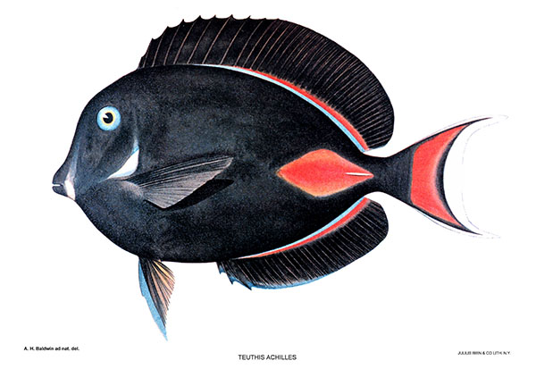 Achilles Tang, Acanthurus achilles, a popular export species shown in a vintage illustration from a collection of Hawaiian reef fishes by A.H. Baldwin.
