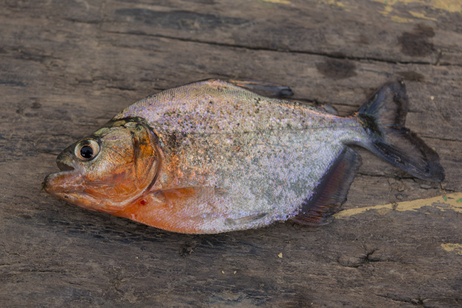 Red-bellied piranha (Pygocentrus nattereri), a common food and aquarium fish in the region